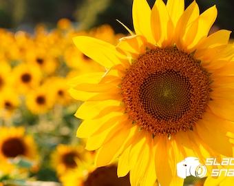 Sunflowers. Print Size Varies