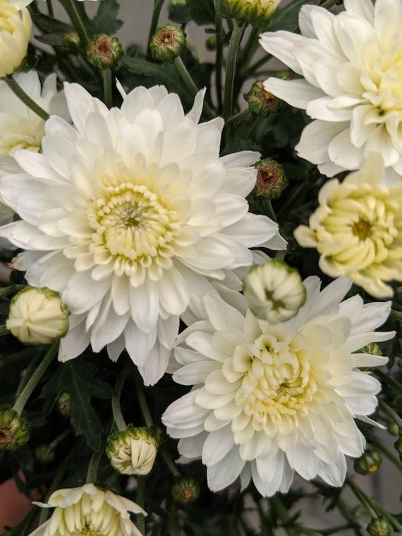 Chrysanthemum Mum S Plant Easy Care Plant Annual Bloom Etsy