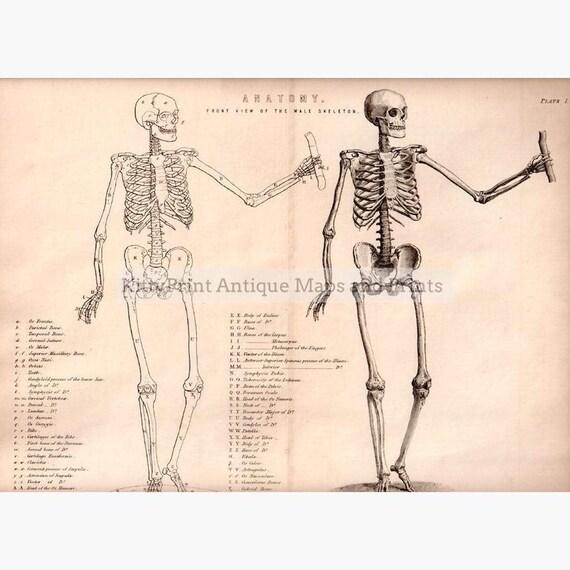 diagram of male skeleton antique print anatomy front view of the male skeleton etsy  antique print anatomy front view of