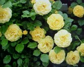 Fragrance Climbing Baby YELLOW Thornless ROSE Flower Seeds. 6 seeds per Package. Perennial Will Bloom For Years.