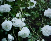 Fragrance Climbing BABY WHITE Thornless ROSE Flower Seeds Baby White Blooms Of Color. Perennial Will Bloom For Years 6 Seeds Per Package