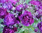 Fragrance Climbing BABY PURPLE Thornless ROSE Flower Seeds Baby Purple Blooms Of Color. Perennial Will Bloom For Years 6 Seeds Per Package