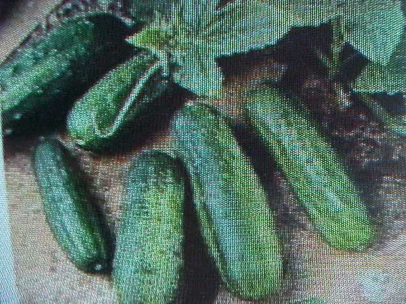 MINIATURE CUCUMBER SEEDS No Room Great In Pots Containers Hanging Baskets Windows or Outside 10 Seed Per Pack Can Plant Indoor or Outdoor