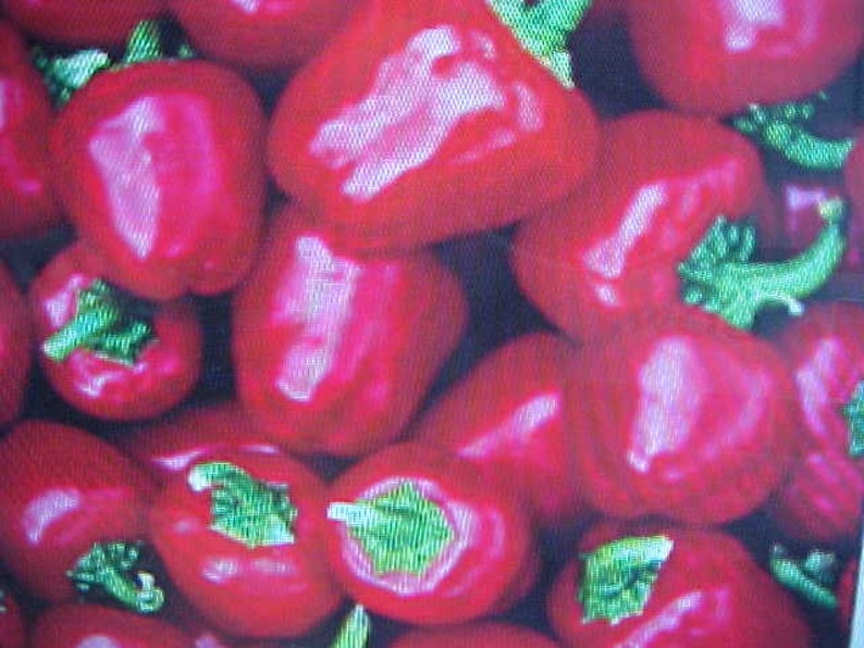 MINIATURE Red BELL PEPPER Seeds Plant Indoor or Outdoor Great In Pots Containers Hanging Baskets Windows or Outside  6 Seeds Per Pack