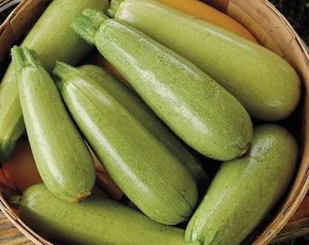 Squash Zucchini Gribovskiy - Heirloom - Vegetable Seeds - NON GMO