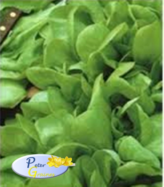 Baby Lettuce Seeds Malyshka Baby Organically Grown Ukrainian Heirloom Buttercrunch lettuce seeds