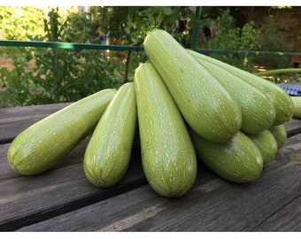 Seeds Summer Squash - Zucchini Chaklun Fresh Heirloom Vegetable