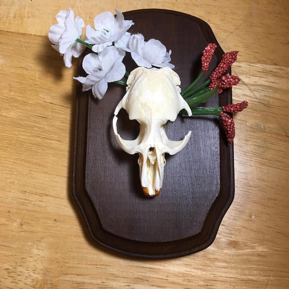 Mounted muskrat skull