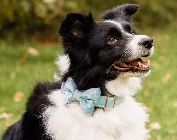 Party Lux Baby Blue Crushed Velvet Set BowTie Dog Collar Rose Gold Buckle by Ollie + Co