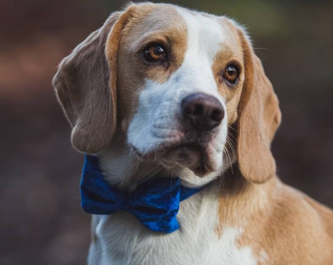 Party Lux Royal Blue Crushed Velvet BowTie Rosegold Wedding Dog Collar Bolt Blue Silver Buckle by Ollie + Co