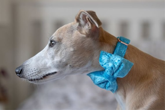 Party Lux Bright Blue Crushed Velvet - BowTie Dog Collar Rose Gold Buckle by Ollie + Co