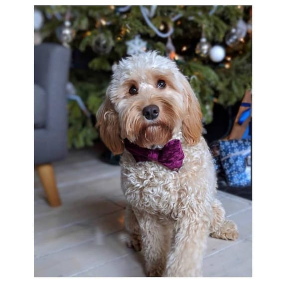 Party Lux Mulberry Purple Crushed Velvet Set BowTie Dog Collar Rose Gold Buckle by Ollie + Co