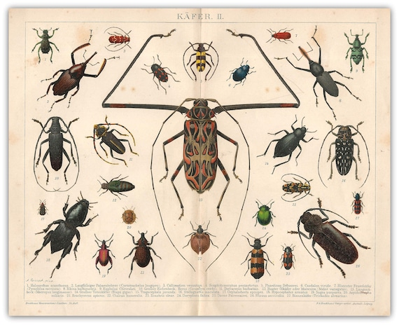 Coleoptera Bugs Beetles Insects Digitally Restored Print 1878 1