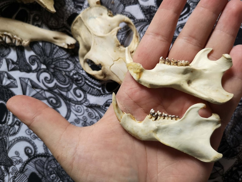 SKULLS SET 7 BONES Roe deer skull Antiques Beaver Skull