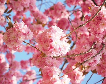 Kwanzan Cherry Blossom Tree Beautiful Large Bright Pink Globes Of Blossoms 2 Years Old And  Feet Tall