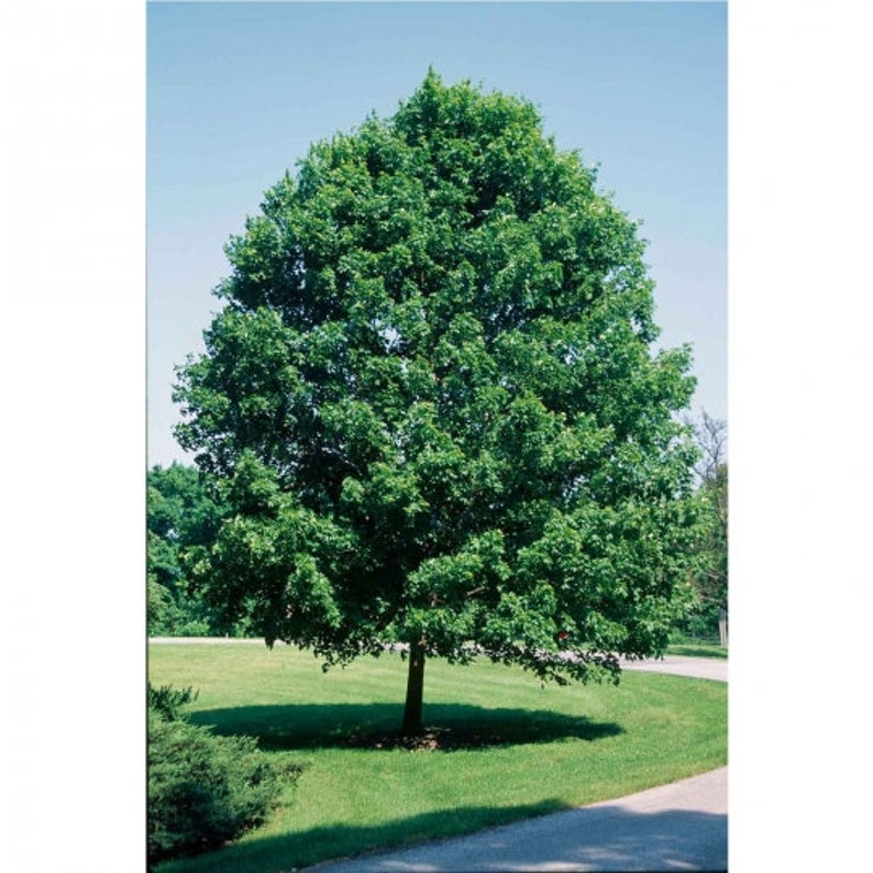 Sugar Maple Tree Fast-growing native with bright fall color! 2 years old and 3 to 4 feet tall