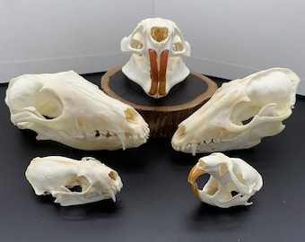 wholesale Real animal skull bone specimen after cleaned and bleached.