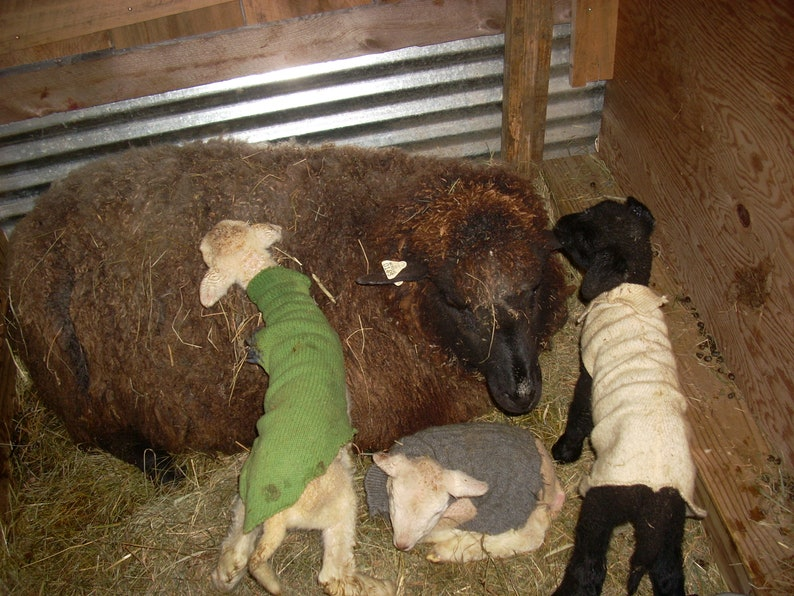 Raw Wool Natural Grays and Browns Fleece Friesian Romney Cross Unwashed Wool by the Pound