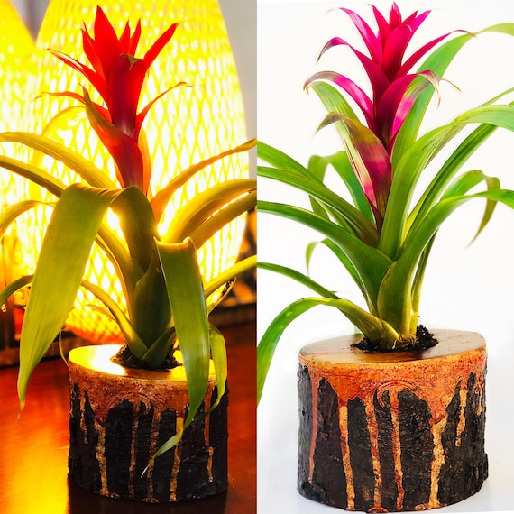 Live Guzmania Flower In Solid Lava Wood Planter Colorful Live Etsy
