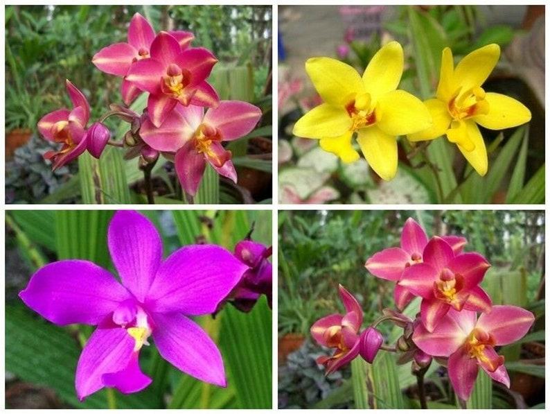 1 rhizomes yellow Spathoglottis Ground Bulb Orchid Flower Thailand !NEW