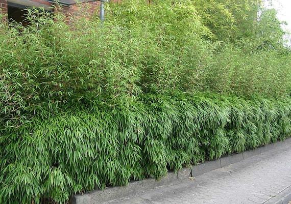 running bamboo
