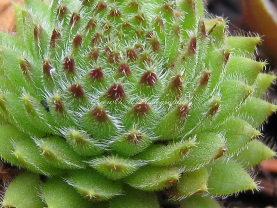 Sedum Green Plants Succulents Easy Care Plants Container Etsy