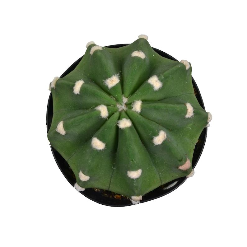 2.5 Domino Cactus Echinopsis Subdenudata
