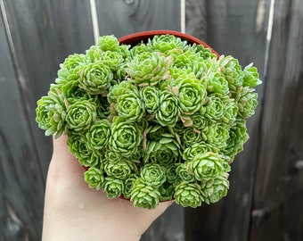 "4"" Rosularia Chrysantha"