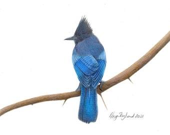 "Original coloured pencil art of a Stellar Jay, a North American bird, 9""x12"" wall decor, bird art gift"