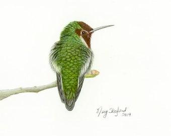 "Anna's Hummingbird, 8.5""x11"" art print of my original coloured pencil drawing, wall decor, bird art, wildlife art"