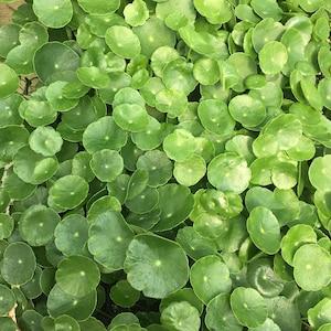 Lawsonia inermis HENNA PLANT live plant in 2.5 inch pot