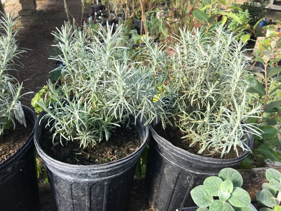 Helichrysum angustifolium CURRY PLANT live in gallon size pot Aromatic Herb