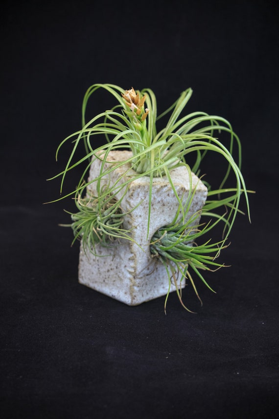 Air Plant Condo Speckled Twisted Short