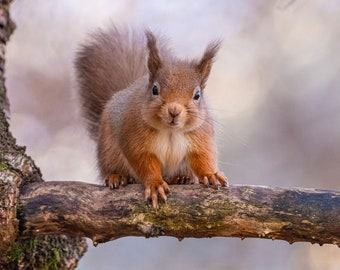 Baby Red Squirrel Greeting Card, Red Squirrel Birthday Card, Wildlife Card, Red Squirrel blank card, Red Squirrel A6 greeting card