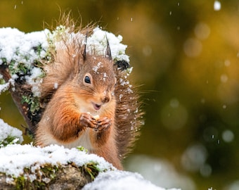 Red Squirrel Greeting Card, Red Squirrel Birthday Card, Wildlife Card, Red Squirrel blank card, Christmas Card, winter card