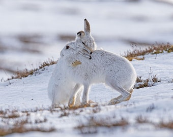 Mountain Hare Greeting Card, Hare Xmas Card, Hare Greeting Card, Hare Blank Greeting Card, Hare Valentine Card, valentines