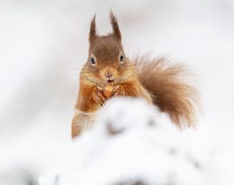 Red Squirrel Scottish Wildlife Print