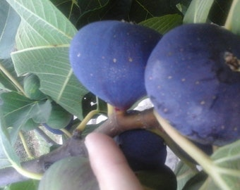 4x fresh avocado tree cuttings self fertile