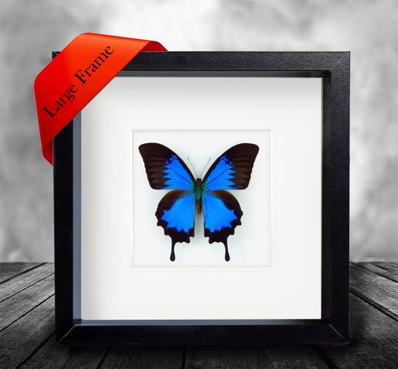 taxidermy Real Ulysses Butterfly Hand Set and Framed In UK Beautiful Gift