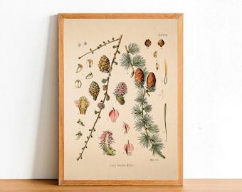 Vintage Winter Tree A4//A3 Poster European Larch Vintage Nature Print
