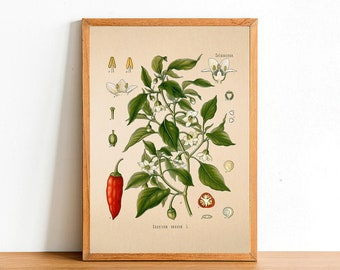 Vintage Chili Pepper Print, Antique Botanical Posters, Flower Prints, A4 A3 A2 Poster, Home Decor, Wall Art, Green Leaf, Capsicum Annuum