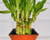 2 Tier Lucky Bamboo - 6 quot 4 quot Lucky Bamboos in 2 Tiers - Feng Shui- With 5 quot Vase Color Coconut