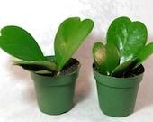 Two Hoya Kerrii Sweetheart Plant 4 39 39 pot Plant Live Heart Rare Cute Rare