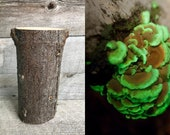 Glow in the dark mushroom Panellus stipticus bioluminescent habitat log (PRE-INOCULATED)