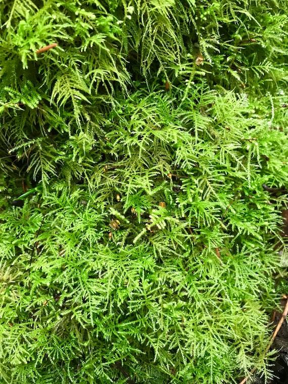 For Terrariums Vivariums Moss Gardens Live Sheet Moss 1 Quart Bag