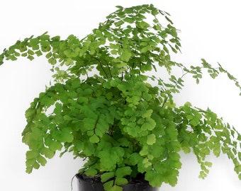 "Maidenhair Fern (Adiantum raddianum) Live Plant 6-10"" Bare Root"