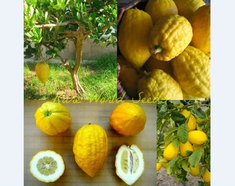 1b376097d1ee RARE Yellow Citron  Etrog  Acidic Giant Lemon (Citrus Medica) SEEDS.