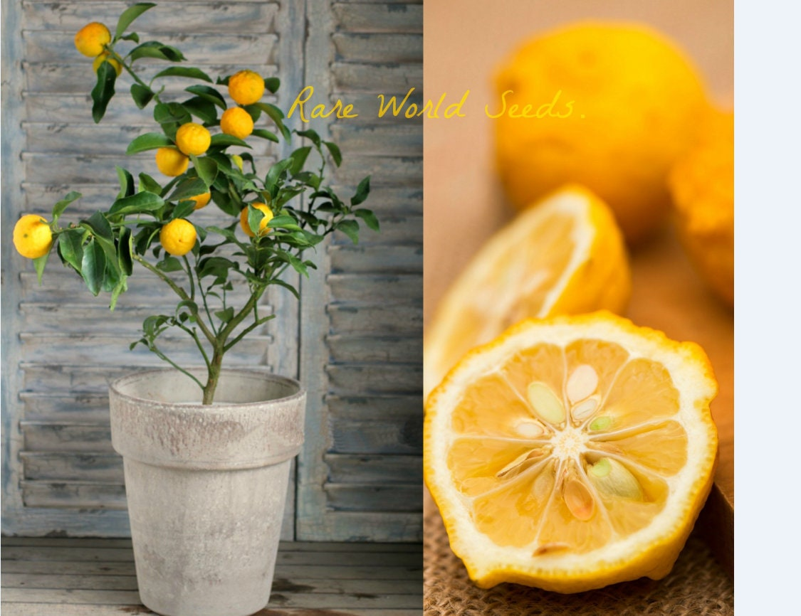 30 Fresh Yuzu Citrus Seeds