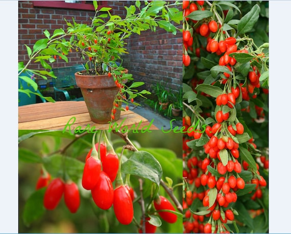 Seeds Goji Berry Synthia New Cultivar Sweeter And Etsy