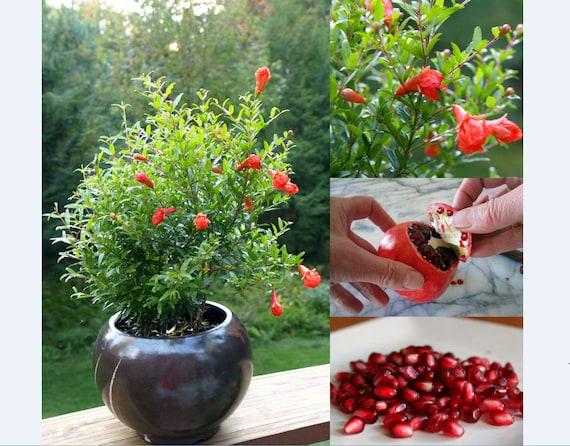 Punica Granatum compatto frutta Patio arbusto RARA Semi-NANA Melograno